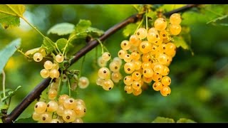 How to Grow (Ribes) Gooseberries & Currants - Complete Growing Guide