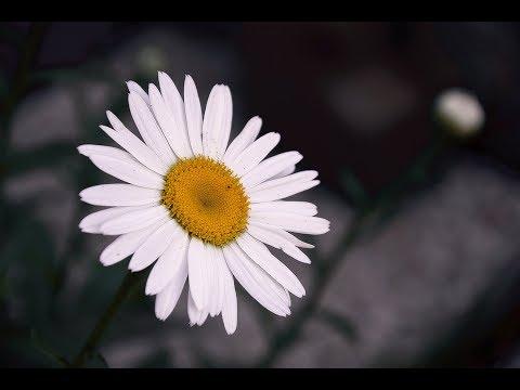 Ромашка белая