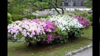 千秋公園のつつじが綺麗