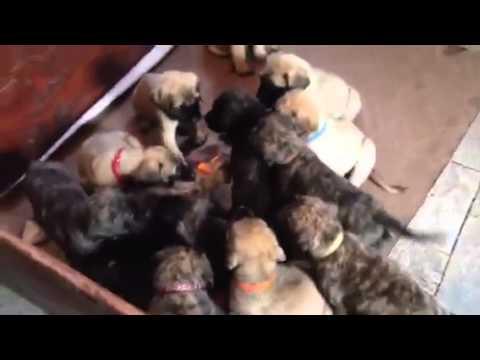 Mastiff puppies 6.5 weeks old