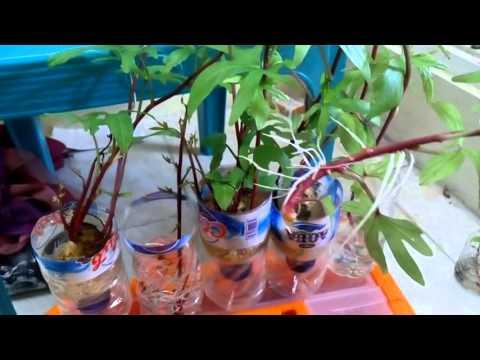 Video Menanam ubi cilembu / ubi madu (Part 4)