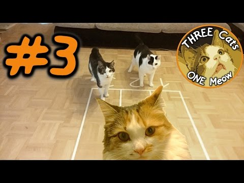 CAT RACE 100m Sprint Competition Funny: Bandito Vs. Charly Vs. Frl. Honig | THREE CATS ONE MEOW #3