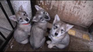 Czechoslovakian Wolfdog Adorable Puppies Compilation - Cuteness Overload