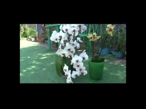 Фаленопсис большой и красивый .