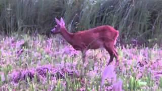 preview picture of video 'Rehwild in der Schorfheide; Eichelhähr; auf Bockjagd; Jagd in der Schorfheide'