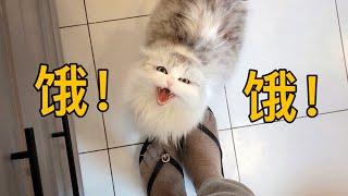 【李喜貓】这猫从早到晚为讨吃撕心裂肺叫得极惨,怕是胃连着大海,养不起了!