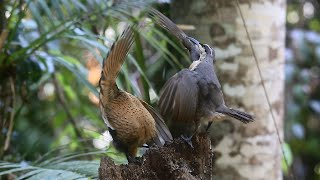 Victoria's Riflebird - Bird of Paradise - Juvenile display