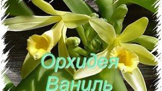 Vanilla Orchid Орхидея Ваниль