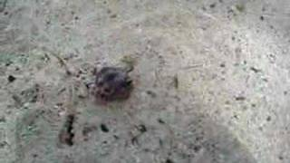 preview picture of video 'Hermit Crab - Savaii Island, Samoa'