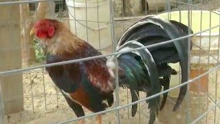 gamefowl farms usa - मुफ्त ऑनलाइन वीडियो