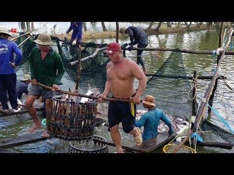 Thu hoạch cá tra nuôi ở Miền Tây
