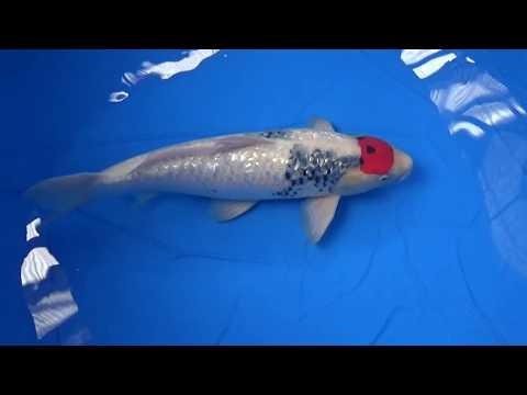 nishikigoiclub19、錦鯉、面迫産、銀鱗丹頂昭和、No.20