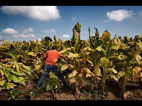 MADE IN THE USA: Child Labor & Tobacco