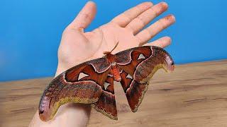 Родилась первая бабочка! Она СУПЕР огромная! Павлиноглазка атлас! alex boyko