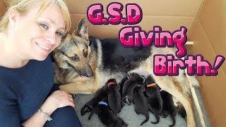 German Shepherd Giving Birth   GSD Puppies Born