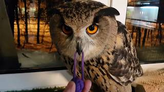 Yoll the eagle owl with new toys