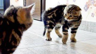 Funny Cats ninja tricks Wrestlers from chorus line of kittens