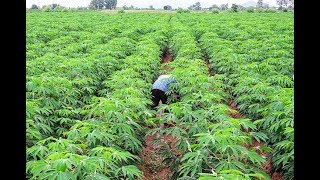 What you need to know Siaya County's deadly crop