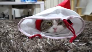 Самый смешной кот (приколы)