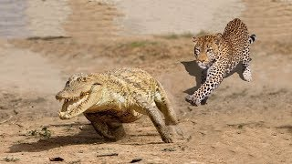 Ягуар охотиться на Каймана