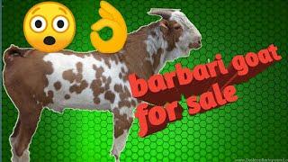 madina goat farming - Sawal aapke Jawab Hamare,, goat