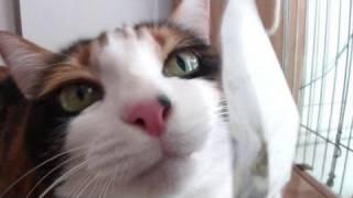 匂い袋を楽しむ猫HD-Catenjoyedasmellandscratch.