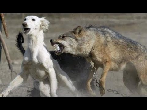 National Geographic - Differences Between Wolves And Dogs Films 2017