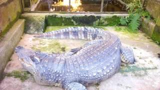 Lý do con cá sấu nó ghét mình (why the crocodile hates me so much)