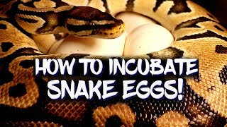 How to incubate ball python eggs!