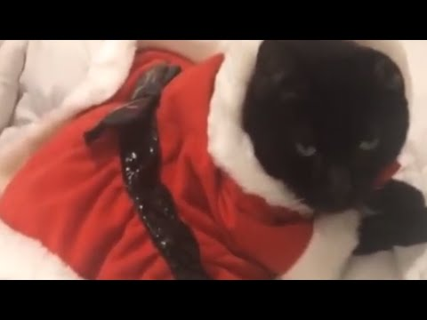 Cat dresses up in Santa Claus outfit