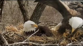 Decorah Eagles-Mom's Incredible Hover Landing On The Nest 16 mph Winds