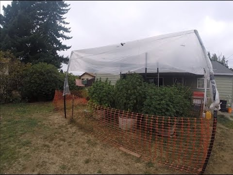 Backyard Cannabis Farming 2019 Episode 13 - Greenhouse Complete, Moving Plants for Protection, Wiggle Wire Supports, & Adding Organic Compost Tea