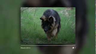 German Shepherd Mex Von Falco - Look Back movie