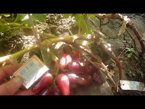 Сорт винограда Оскар Андрея Карпушева.
