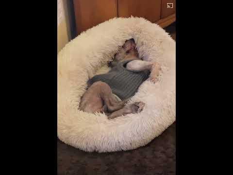 TUX!, an adoptable Boston Terrier in Philadelphia, PA