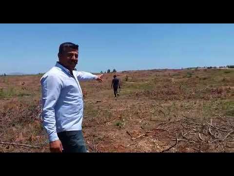 Aksu'da ağaç katliamı