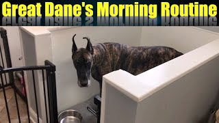 My Morning Routine With Two Great Danes