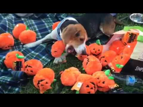 Fosterdog Everwhelmed by too many pumpkins... #fosterdogs @rescueoph