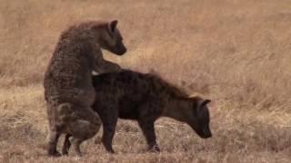 Hyena male too full to mate