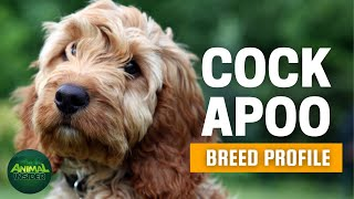 Cockapoo Dogs 101 | The Little Comedian You Will Ever Need in Your Life