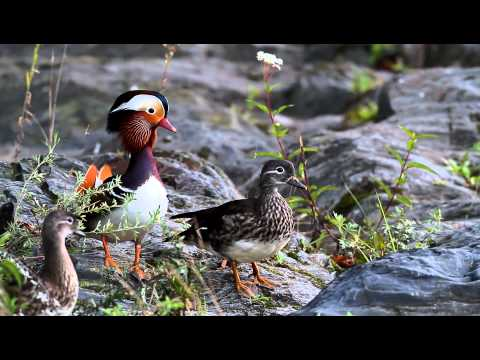 Alerted Mandarin Duck