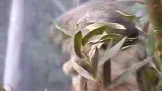 Koala - Infancy
