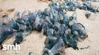 Bluebottle causes chaos on US beach