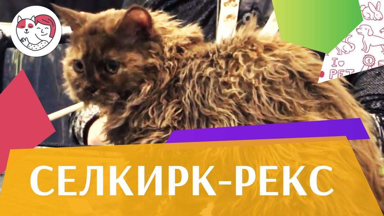 Кошки. Породы кошек. Селкирк рекс. Приобретение, повадки, характер, уход