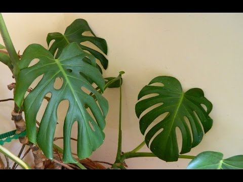 , title : 'Repotting a 32 Year Old Monster - Monstera deliciosa (cheese plant)