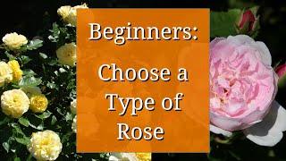 Types of Roses: Beginners Guide to Rose Varieties