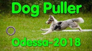 Dog Puller Odessa. Дог-Пуллер. Чемпионат Одессы. Стадион Краян. Собака. Пуллер и фризби. VLOG DOG.