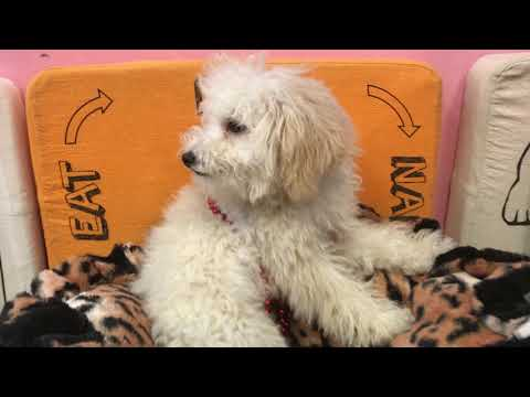 Pumbaa Cute Toy Poodle Puppy for sale Bayside Flushing Queens NY