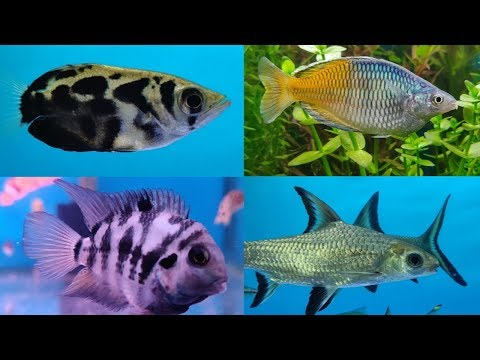 Gold Fish, Cichlid Fish, Guppy Fish, Tetra Fish at Lovely Aquarium Fish Shop