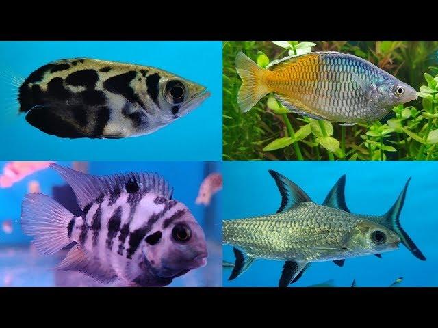 Gold Fish, Cichlid Fish, Guppy Fish, Tetra Fish at Lovely Aquarium Fish Shop
